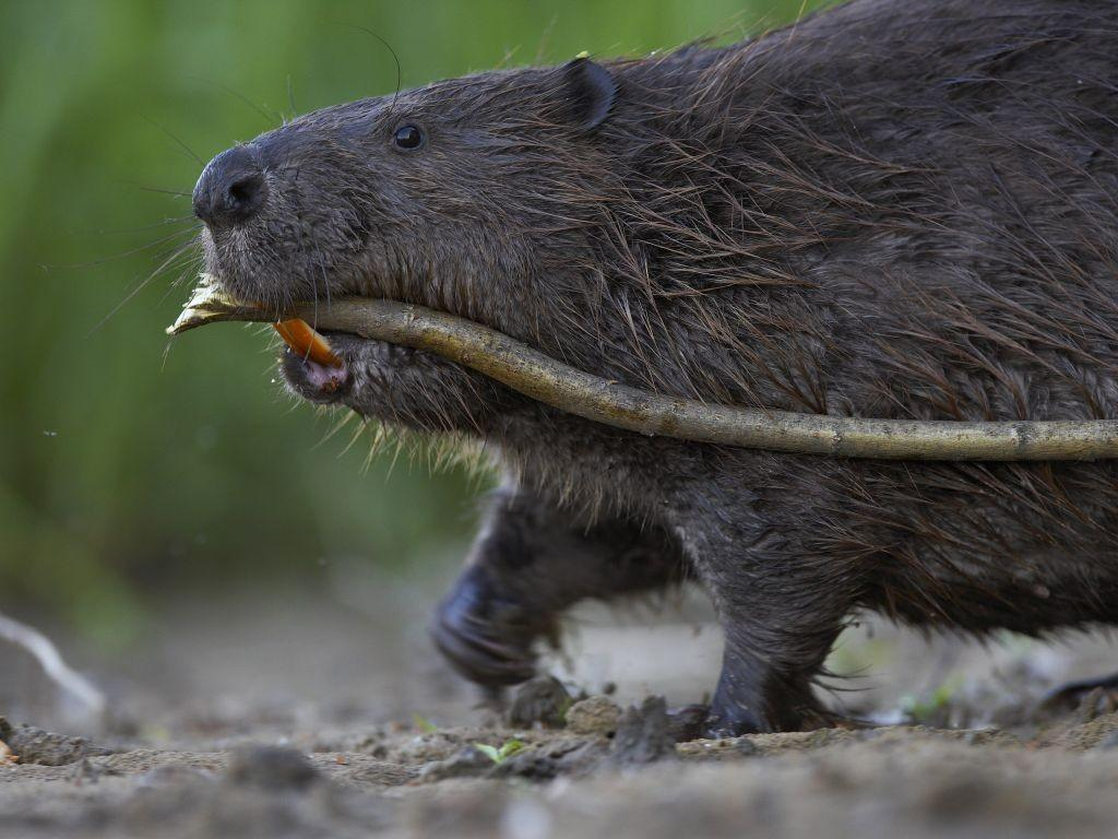 BEAVER WATCHING PHOTOGRAPHY TOURS IN ESTONIA
