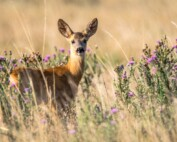 Roe deer watching safari tours in Estonia.jpg