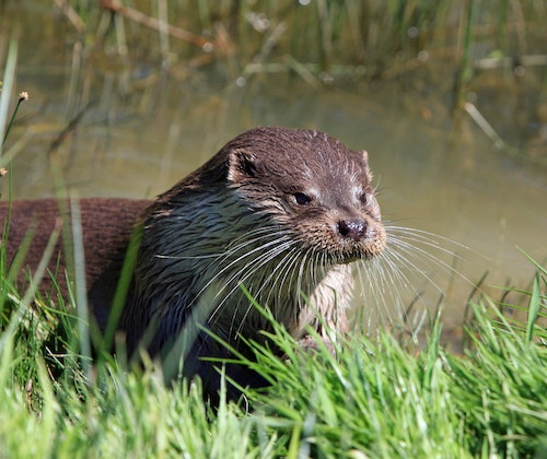 Otter photography tours in Estonia